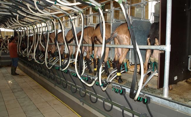 Salle de traite 16 postes chèvres simple équipements